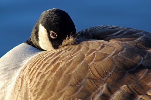 171221 Canada goose