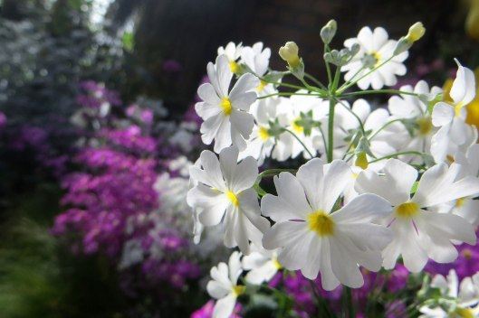 171208 Auckland Wintergarden flowers (4)