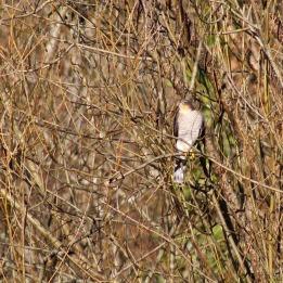 171209 sparrowhawk (1)
