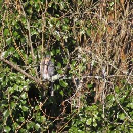 171209 sparrowhawk (2)