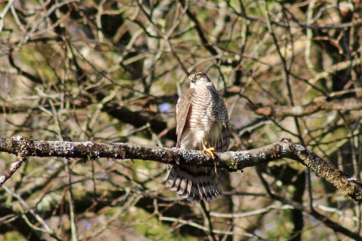171209 sparrowhawk (3)