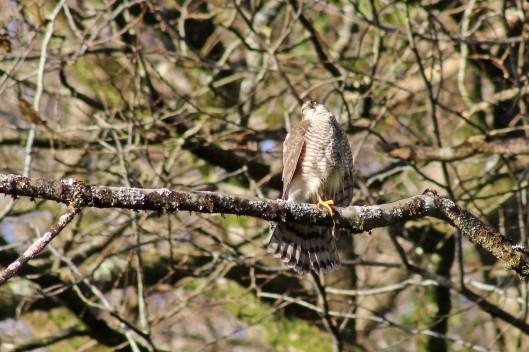 171209 sparrowhawk (4)