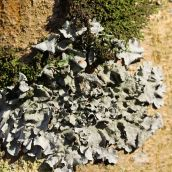 171211 lichens and bryophytes (10)
