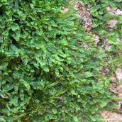 171211 lichens and bryophytes (3)