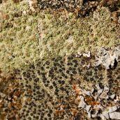 171211 lichens and bryophytes (7)