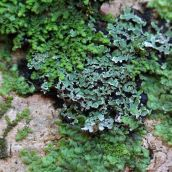 171211 lichens and bryophytes (8)