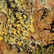 171211 lichens and bryophytes (9)