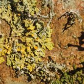 171211 lichens and bryophytes (9)