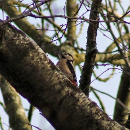 171212 Nant Fawr (10) Great spotted woodpecker