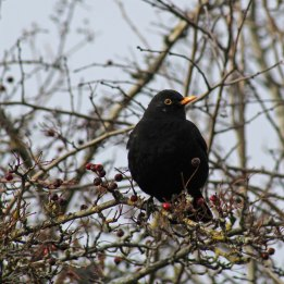 171212 Nant Fawr (12) Blackbird