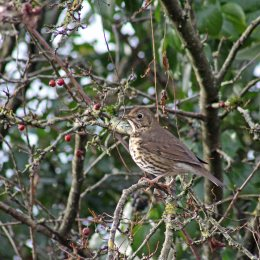 171212 Nant Fawr (13) Song thrush