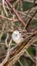 171212 Nant Fawr (4) Sparrow