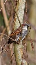 171212 Nant Fawr (5) Sparrow