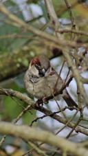 171212 Nant Fawr (6) Sparrow
