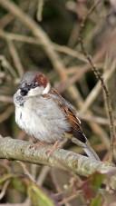 171212 Nant Fawr (7) Sparrow