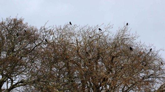 171212 Nant Fawr (8) Crow
