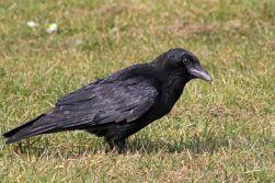 171214 crow (3)