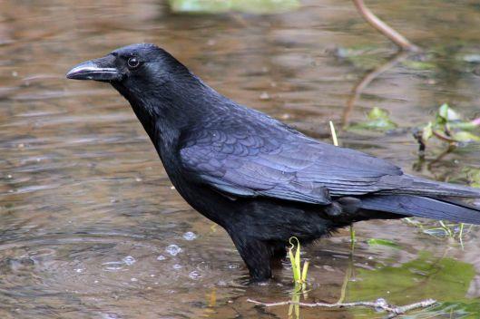171214 crow (4)