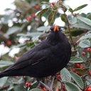 171223 blackbird (1)