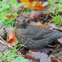 171223 blackbird (10)