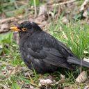 171223 blackbird (12)