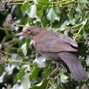 171223 blackbird (14)