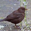 171223 blackbird (17)