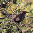 171223 blackbird (18)
