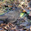 171223 blackbird (22)