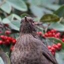 171223 blackbird (23)
