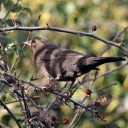 171223 blackbird (3)