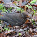 171223 blackbird (5)