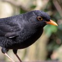 171223 blackbird (7)