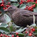 171223 blackbird (8)