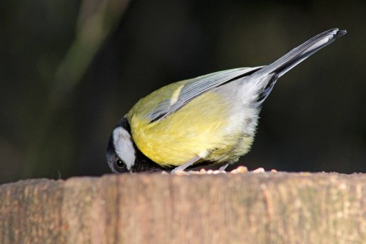 171231 Great tit
