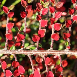cotoneaster (1)