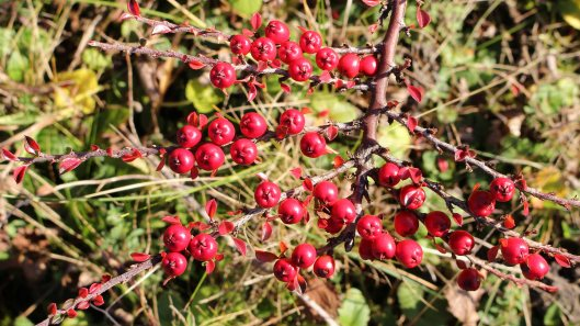 cotoneaster (2)