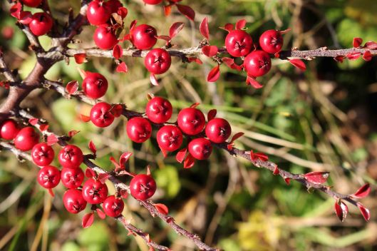 cotoneaster (4)