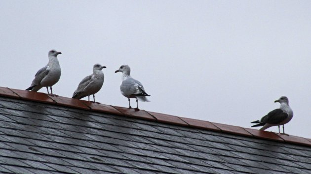 1 Herring gull and 2 Lesser Black-backed