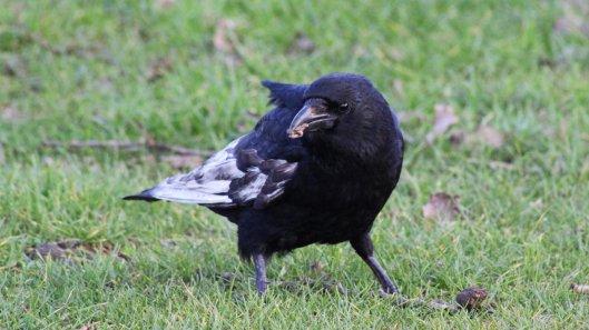 180104 Leucistic crow (4)