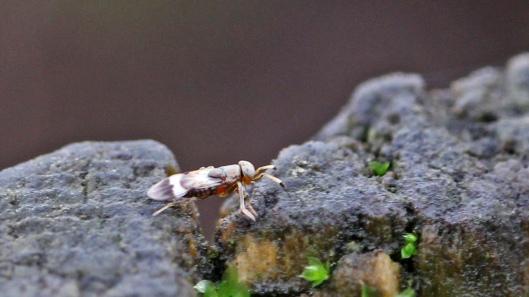 180107 Encyrtidae parasitic wasp (1)