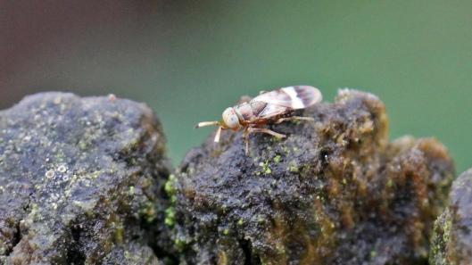 180107 Encyrtidae parasitic wasp (2)