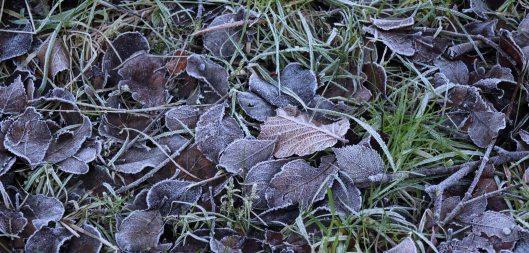 180109 frosty leaves (1)