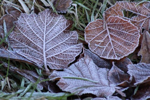 180109 frosty leaves (2)