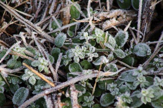 180109 frosty leaves (3)