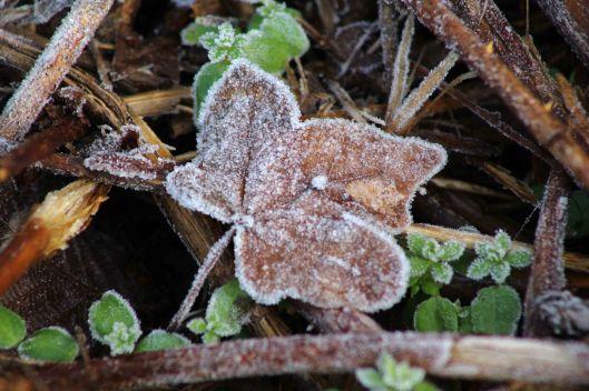 180109 frosty leaves (4)