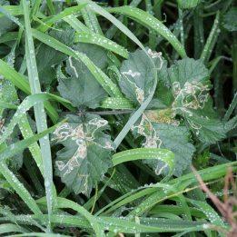 180113 leafmines (3)