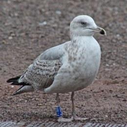 180115 2nd winter Herring gull
