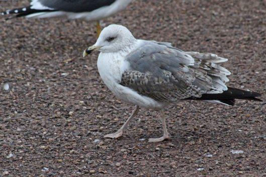 180115 Yellow-legged Gull 2w (1)