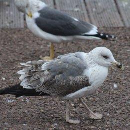 180115 Yellow-legged gull 2w (2)